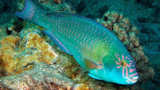 Closeup photo of a very bright turquoise fish with small, hot pink strips down its side and the same hot pink stripes coming outwards, like sun rays, from its eye. Behind it, there are some brown rocks and coral.
